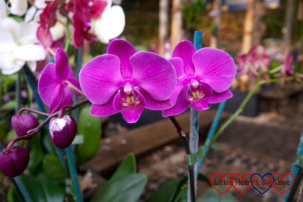 Orchids in the orchid house