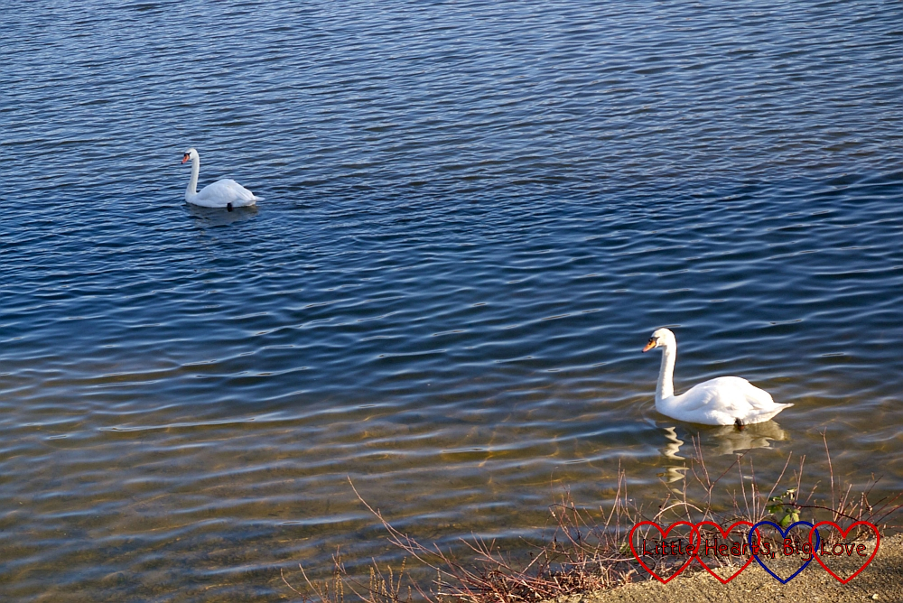 Two swans swimming on the lake at Ruislip Lido
