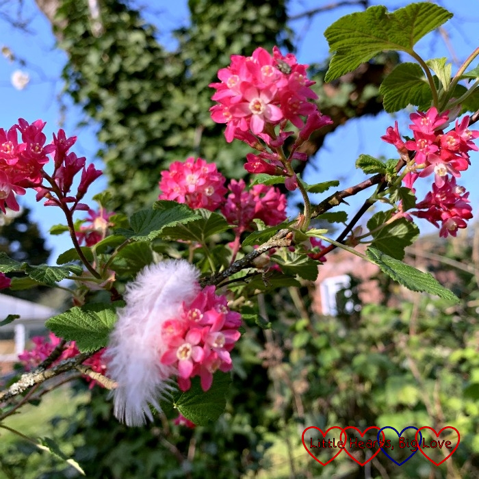 A white feather nestled amongst pink blossom