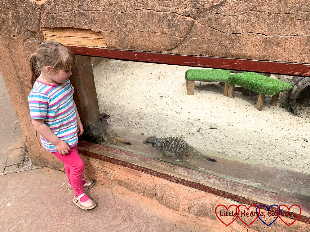 Sophie watching the meerkat
