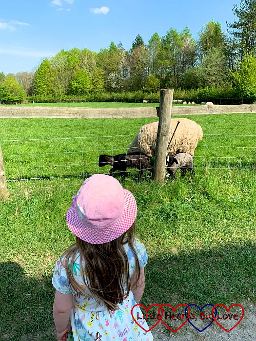 Sophie looking at the lambs at Chiltern Open Air Museum