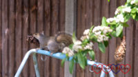 A squirrel with a pine cone bird feeder in its mouth