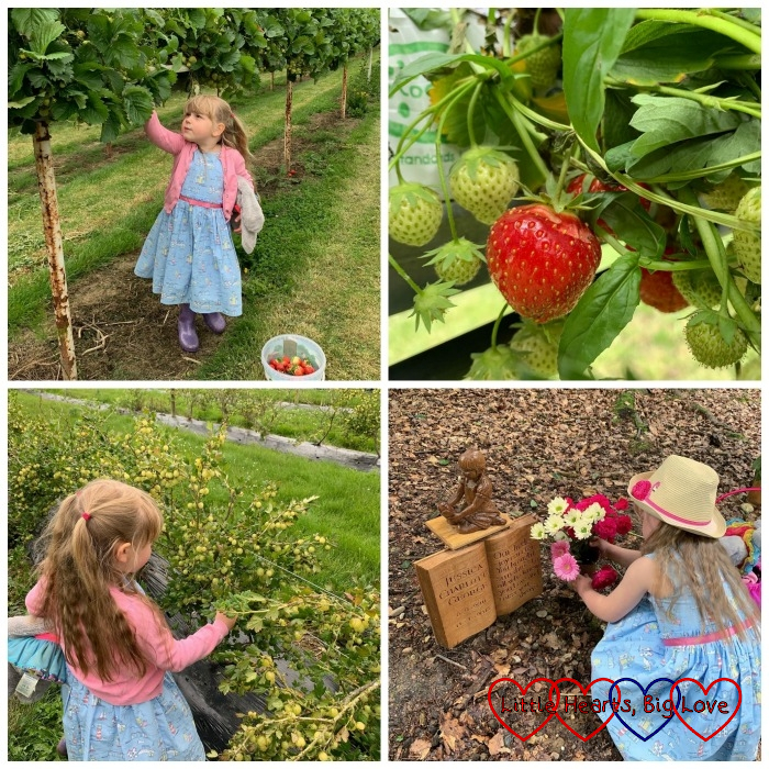 (top) Sophie picking strawberries; strawberries on the bush; (bottom) Sophie picking gooseberries; Sophie arranging the flowers at Jessica's forever bed