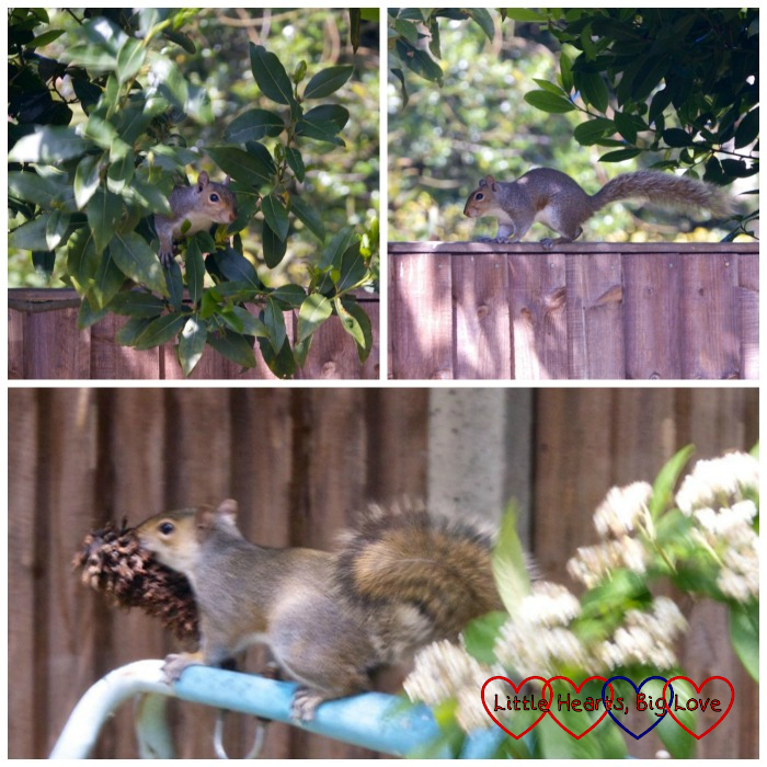 A squirrel in a tree; a squirrel running along the top of the fence; a squirrel with a pine cone bird feeder in its mouth