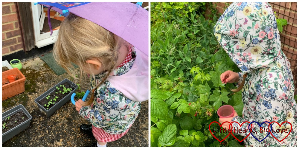 Sophie holding an umbrella and looking at her salad seedlings; Sophie picking raspberries
