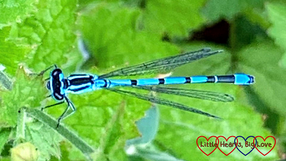 A damselfly on a leaf