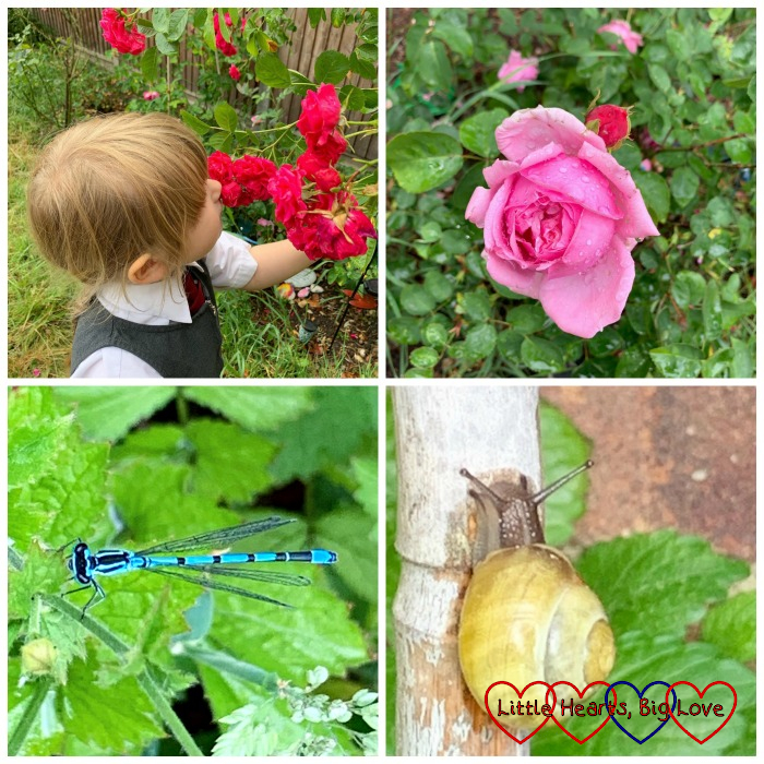 Sophie smelling the roses in the garden; a pretty Jessica rose; a damselfly; a snail on a bamboo cane