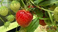 A ripe strawberry ready for picking