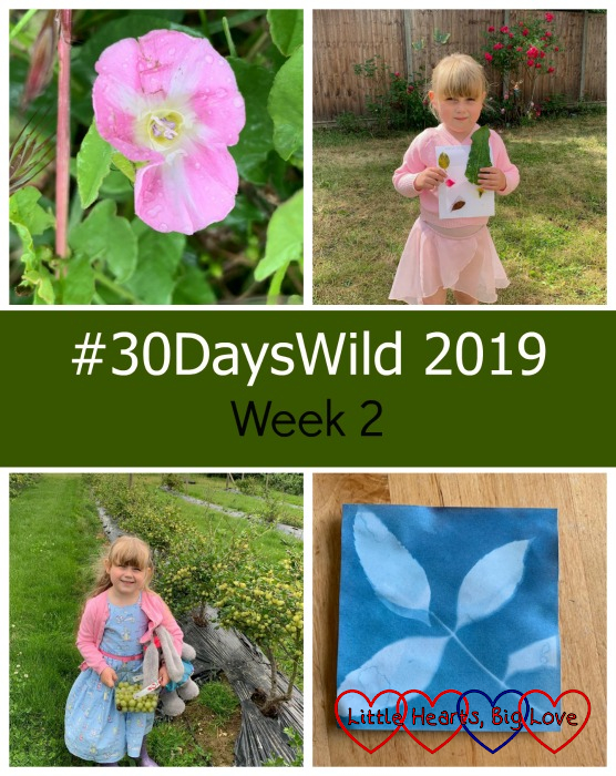 "A pink field bindweed flower; Sophie with her finished nature hunt; Sophie with a basket of gooseberries; a sunprint picture of a leaf - ""#30DaysWild 2019 - Week 2"""