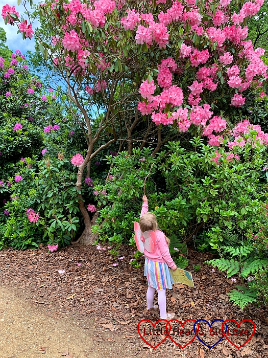 Sophie looking up at the pink rhododendrons in the Temple Gardens