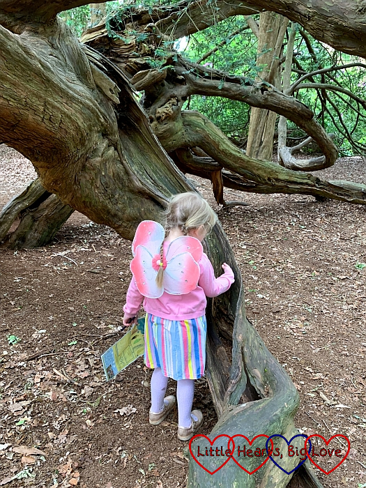 "Sophie looking at the ""slide"" in the trunk of the yew tree"