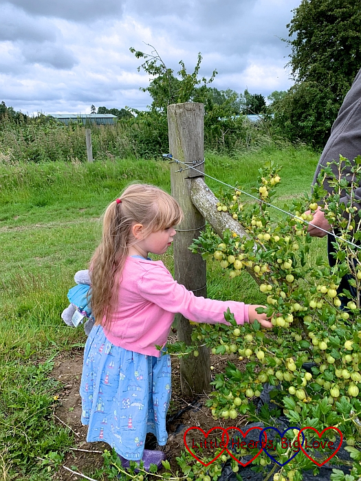 Sophie picking gooseberries