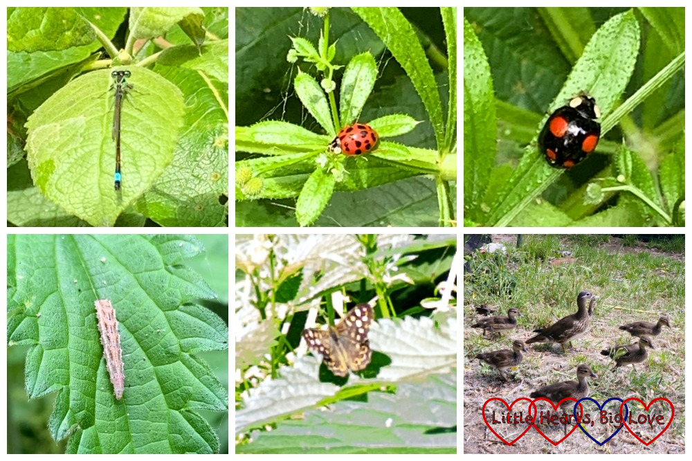 (top l-r) A damselfly on a leaf; a red ladybird with black spots; a black ladybird with red spots. (bottom l-r) A caterpillar on a nettle leaf; a speckled wood butterfly; a mandarin duck with six ducklings