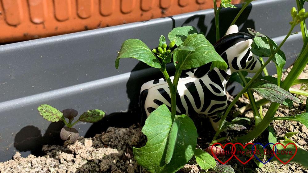A toy zebra hiding inside a pot