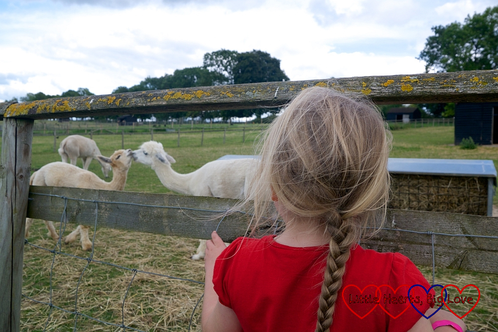 Sophie looking at two alpacas