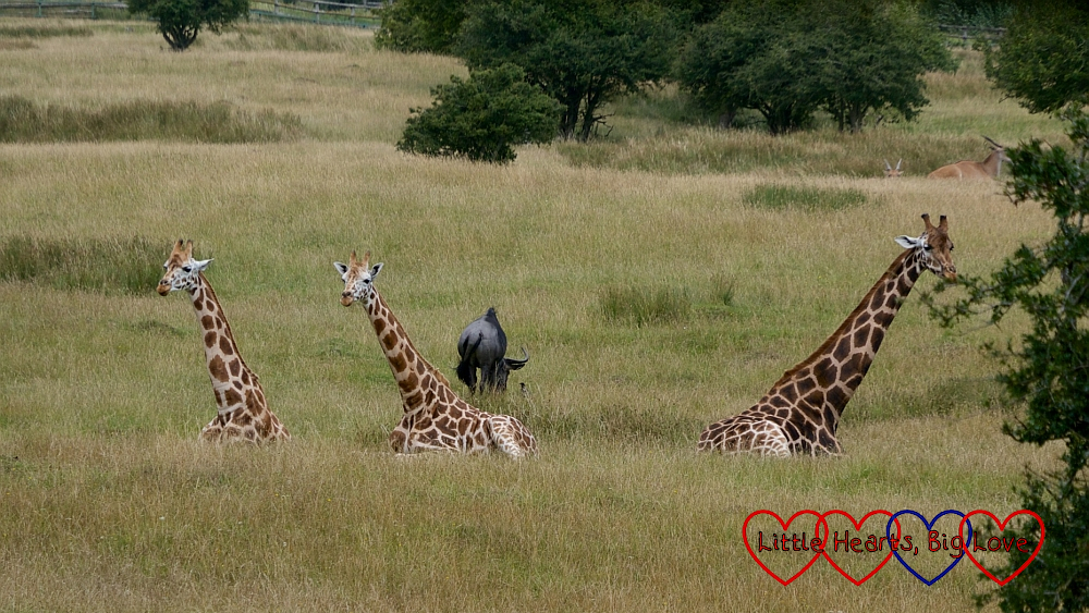 Three giraffes sitting in the long grass