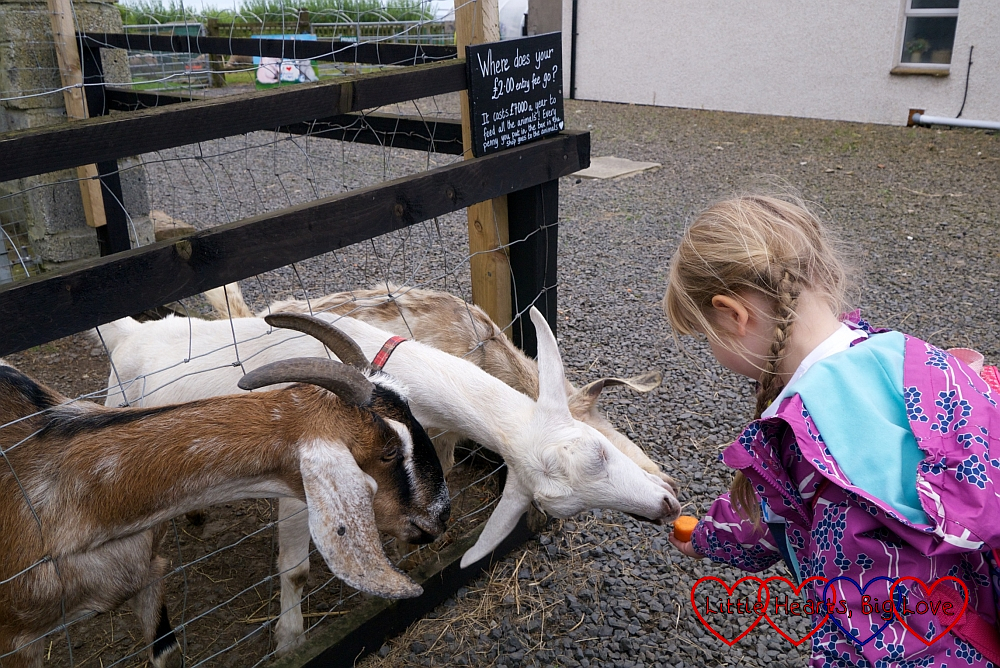 Sophie feeding the goats at Puffin Croft