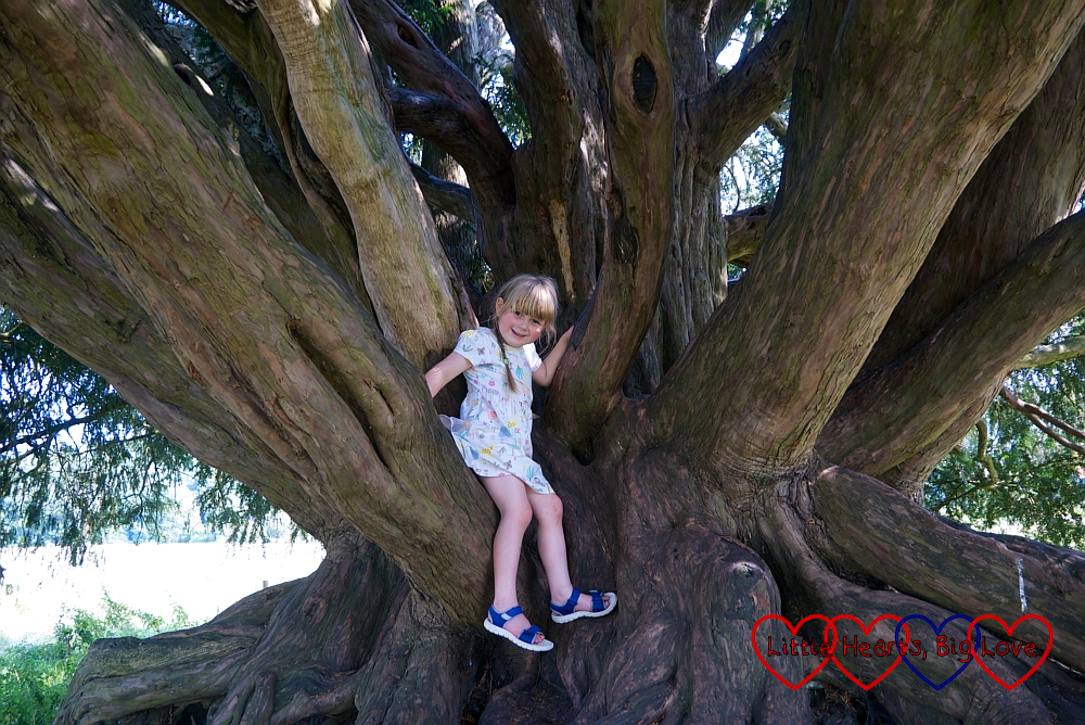 Sophie sitting on a branch of a yew tree