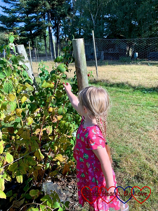 Sophie picking raspberries
