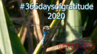 "A picture of a blue dragonfly on a reed with the text ""#366daysofgratitude 2020"""