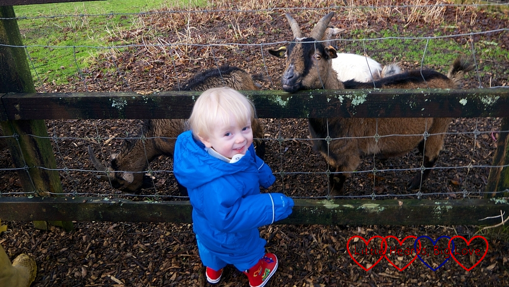 Thomas with a couple of the goats at Coombe Mill
