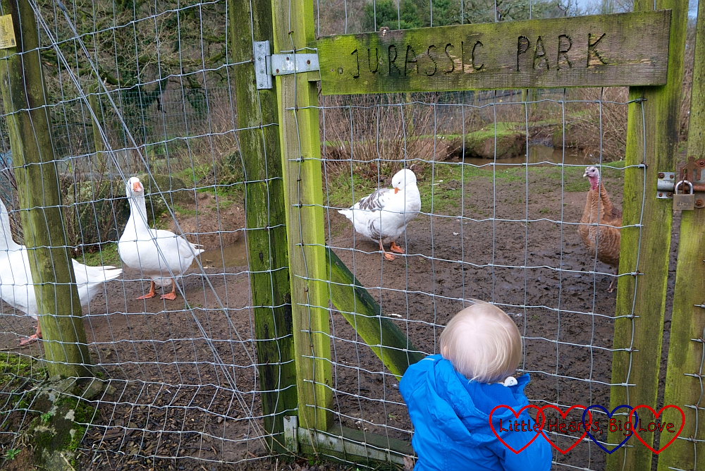 Thomas looking through the wire fence at the geese and guinea fowl in Jurassic Park