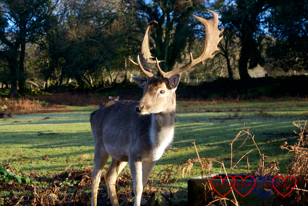 Rudolph the stag looking magnificent in the early morning sunlight on Christmas Day