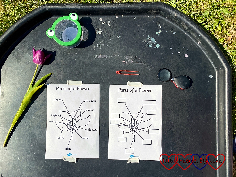 Two 'parts of a flower' sheets on a tuff tray – one pre-labelled; the other blank, with a tulip on the tray next to them along with tweezers and a magnifying glass