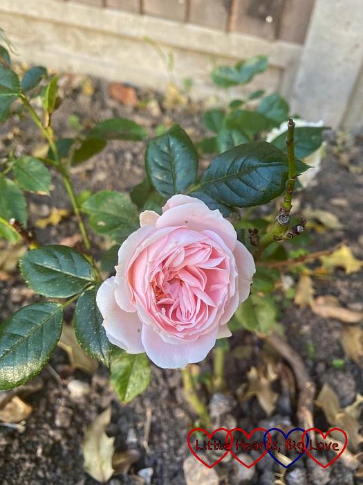 A 'joie de vivre' rose in my garden