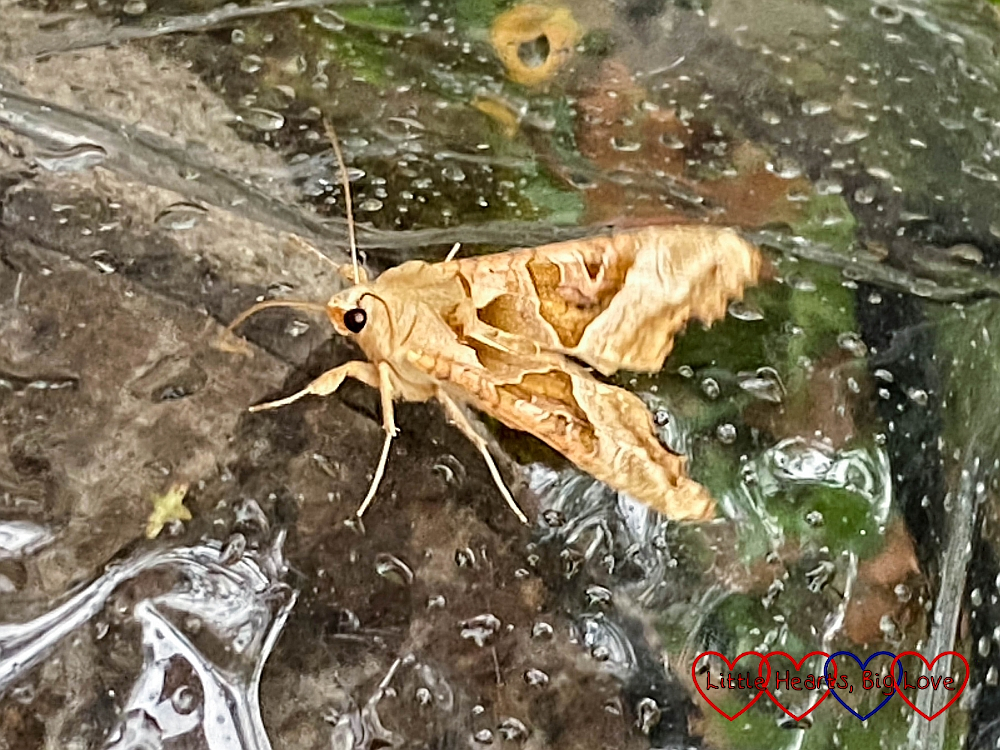 An angle-shades moth on top of our buggy raincover