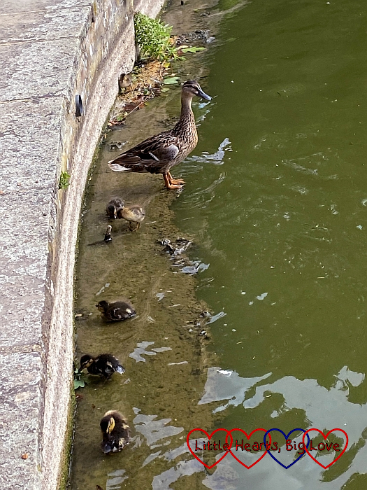 A female duck with six ducklings