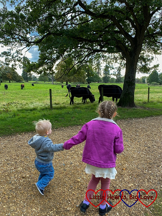 Sophie and Thomas walking past a field of cows at Langley Park