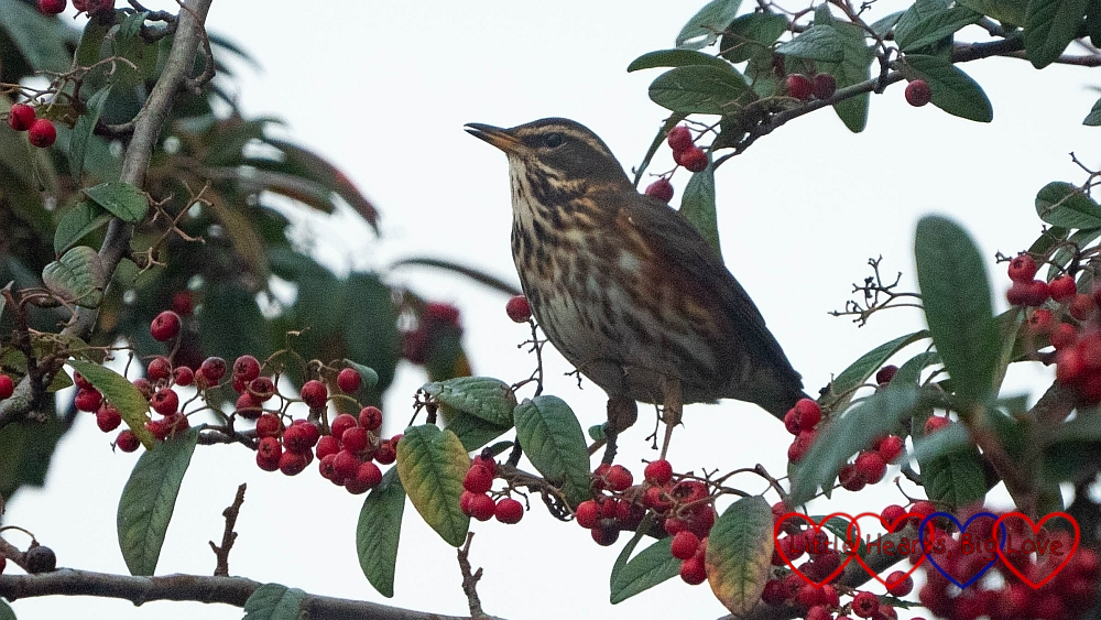 A redwing in a tree