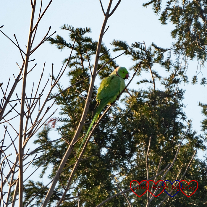 A ring-necked parakeet in a tree