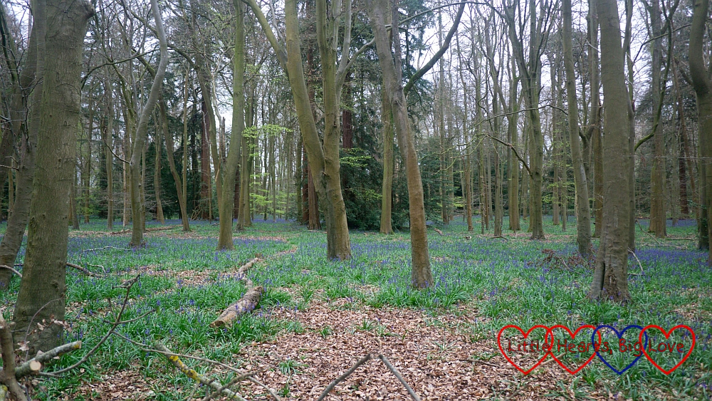 Bluebells in the woods at Cliveden
