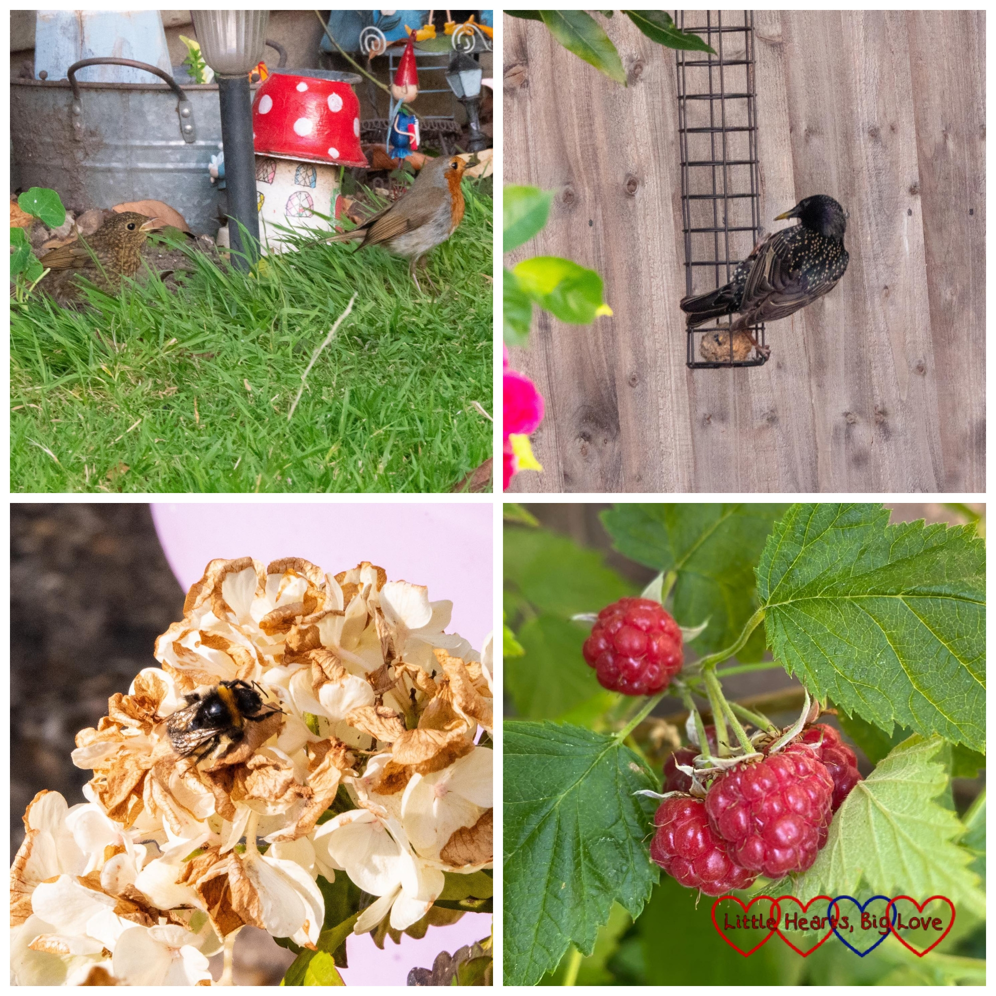 A robin and its chick in the fairy garden; a starling on the fat ball feeder; a bee on the hydrangea; raspberries ripening on the raspberry bush