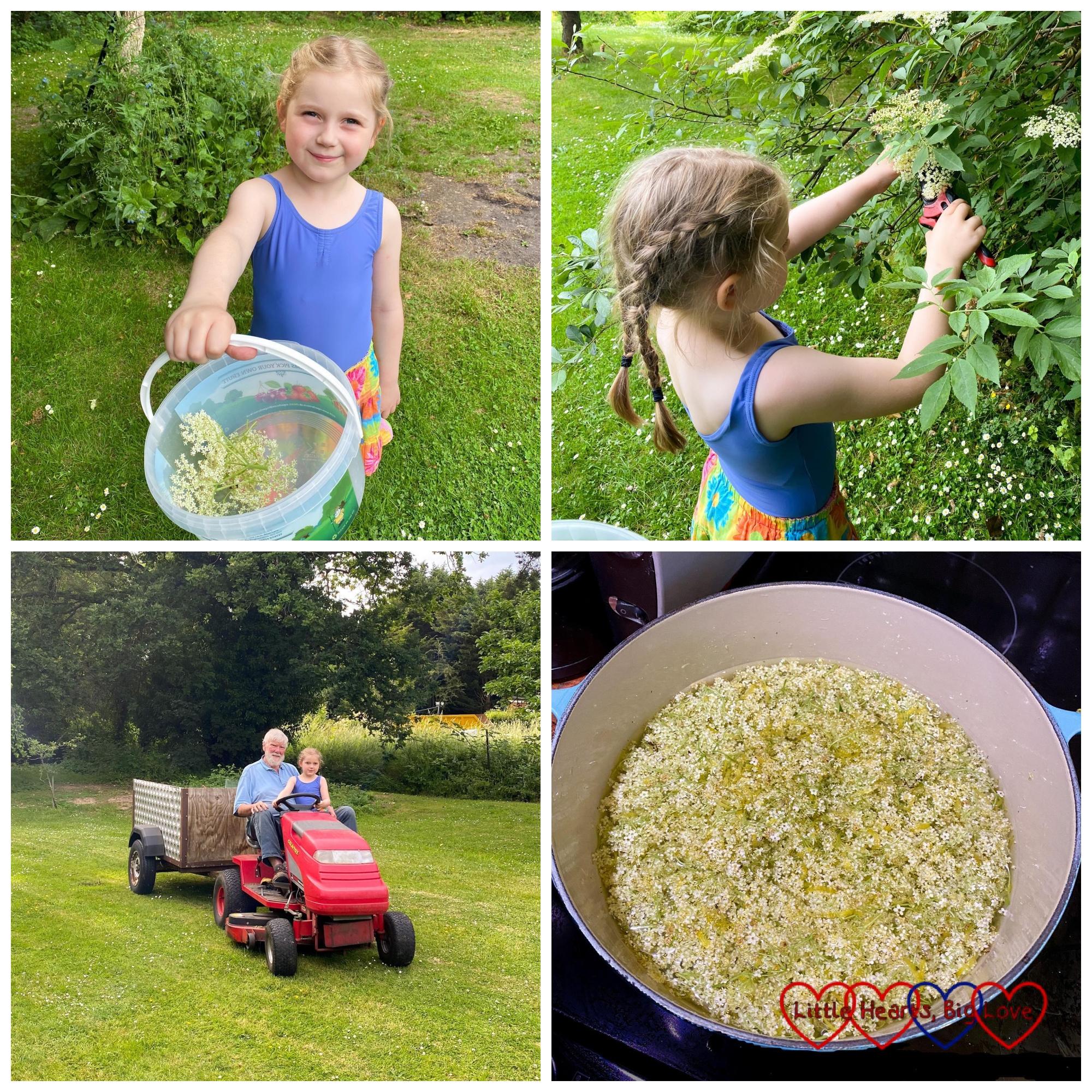 Sophie collecting elderflowers in a bucket; Sophie cutting off elderflowers from the tree; Sophie riding with Grandad on his mower; elderflowers in lemony syrup