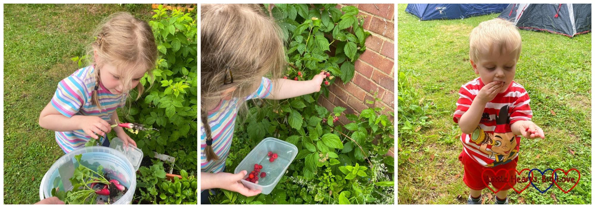 Sophie picking radishes; Sophie picking raspberries; Thomas eating raspberries