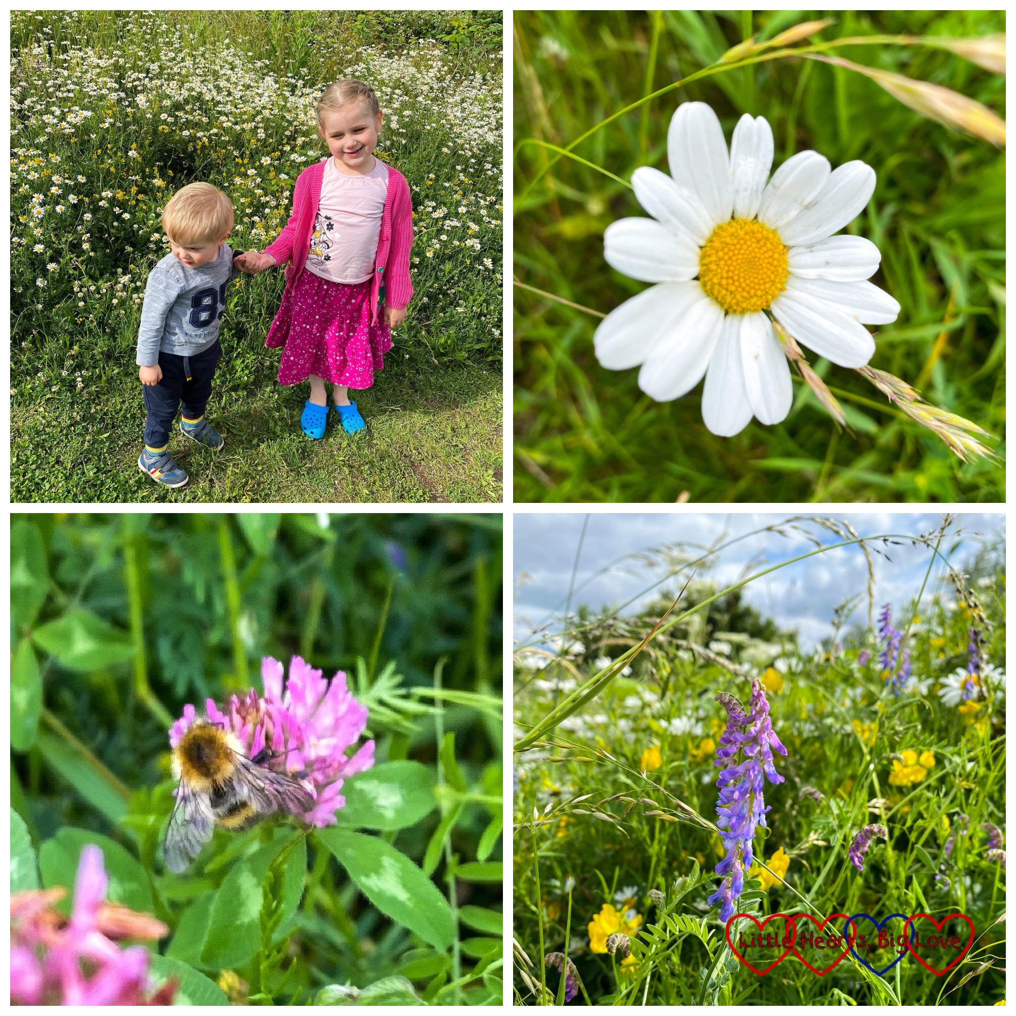 Sophie and Thomas standing in a wildflower meadow; an ox-eye daisy; a bee on a red clover; tufted vetch