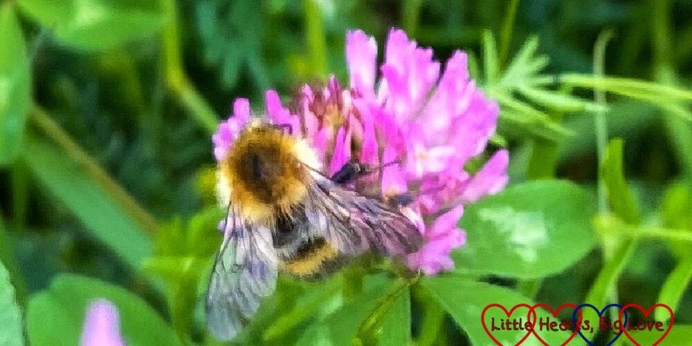 A bee on a red clover