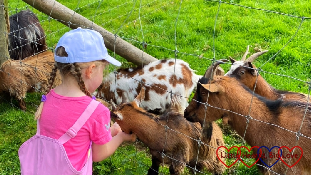 Sophie feeding the goats at Coombe Mill