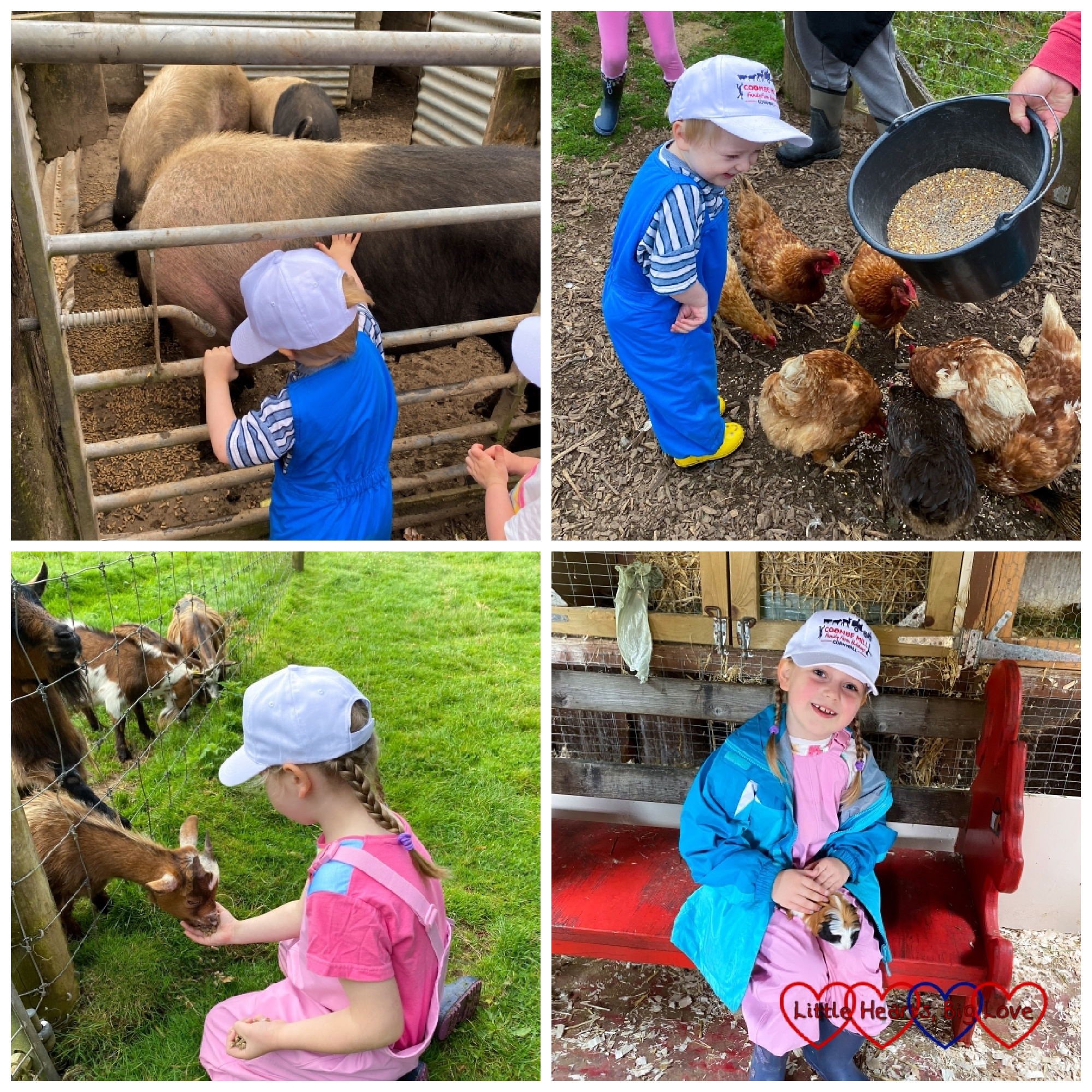 Thomas patting the pigs at Coombe Mill; Thomas feeding the chickens; Sophie feeding the goats and Sophie holding one of the guinea pigs